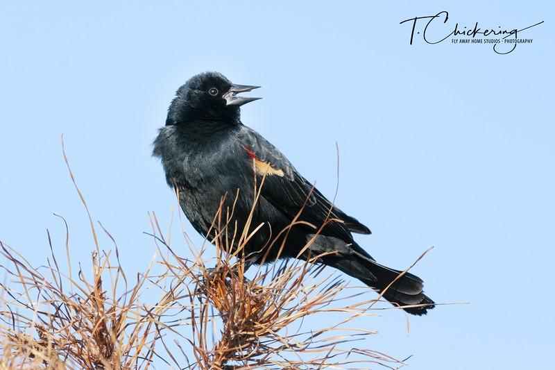 Red-Winged Blackbird Male Two-1 - Copy.jpg