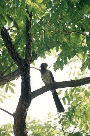 Levaillants Cuckoo