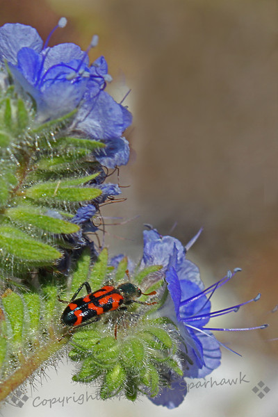 Red Ornate Checkered Beetle of Phaecelia ~ This shot was from the desert wildflower shoot in the Anza Borrego Desert in southern California.