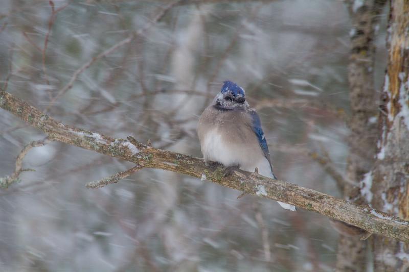 Blue Jay in snowfall Skogstjarna Carlton County MNIMG_1659.jpg