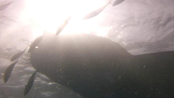 2015-02 Oslob Whale Sharks