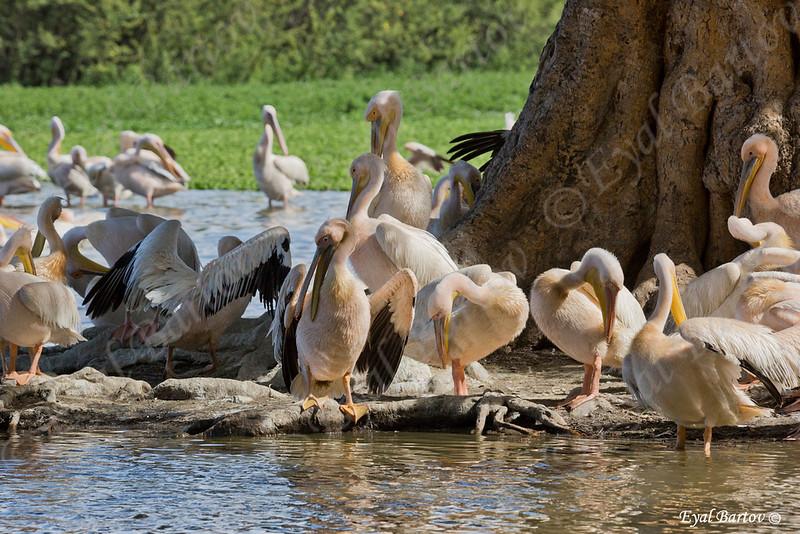 Great white pelican, Pelecanus onocrotalus