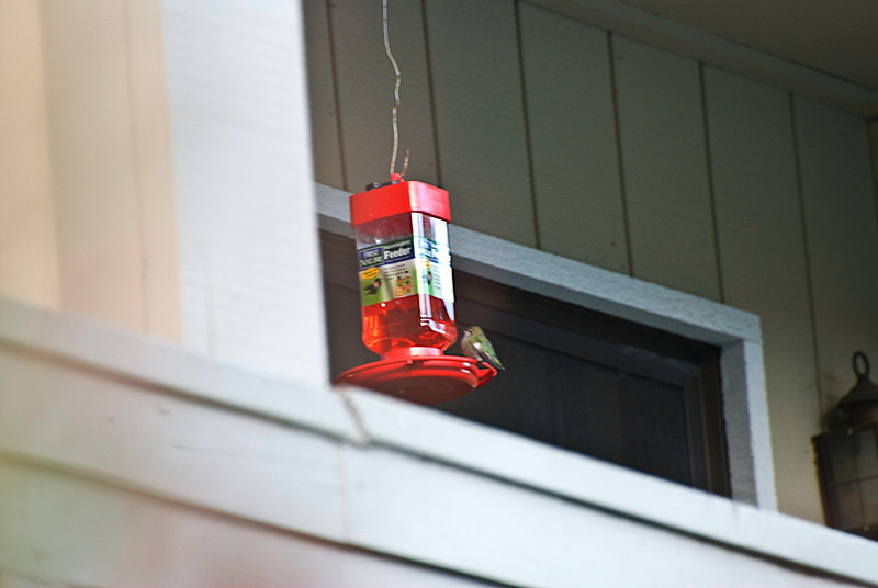 Another Hummingbird feeding.