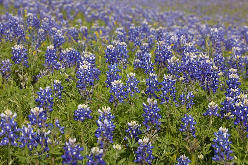 2015_4_3 Texas Wildflowers-7938.jpg