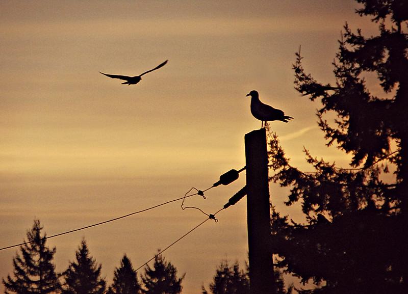 Gulls, Seattle WA
