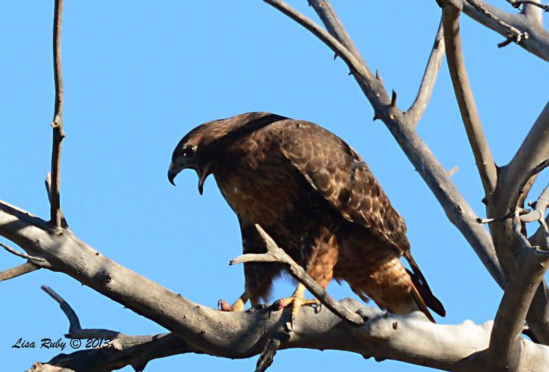 Intermediate Morph Red-tailed Hawk -12/30/13 - San Pasqual Valley Trail