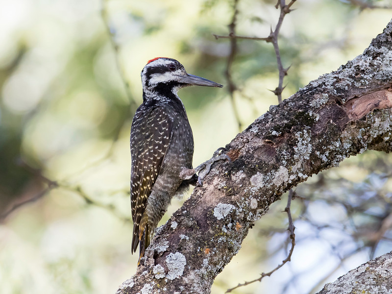 Bearded Woodpecker