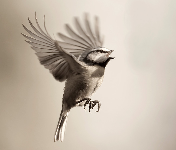 Blue Tit flight bw.jpg