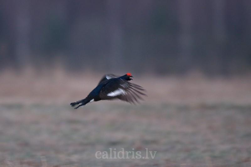Black Grouse (male) in flight in a lek / Rubeņu gailis lidojumā