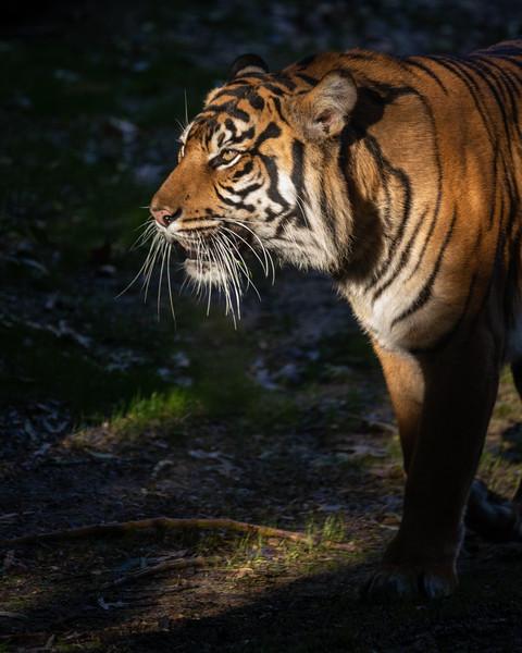 Hadiah, a Sumatran Tiger
