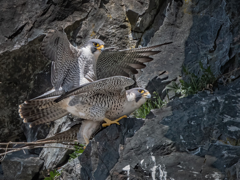 _6000288-Edit Peregrine Falcons mating 1-2.jpg