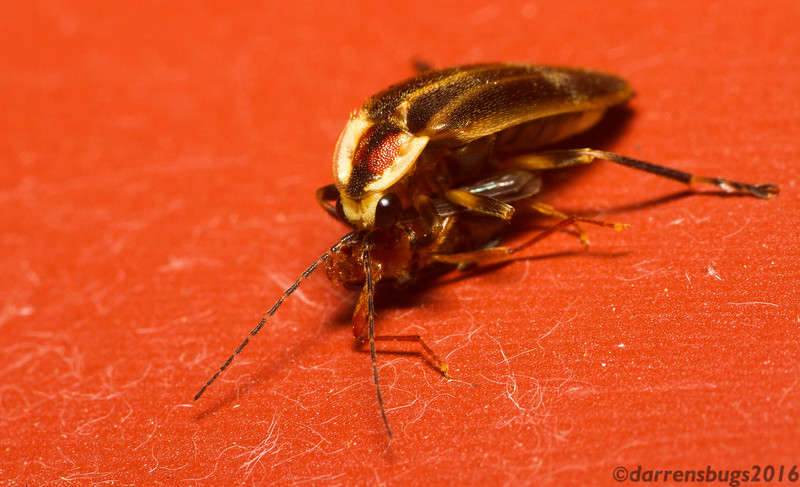 Firefly (Lampyridae: Photuris sp.) with prey from Iowa. Females of this genus are known to mimic the flashing patterns of other species to lure in unsuspecting males and attack them. That may the case here, but it's hard to tell because she's already consumed so much of it.