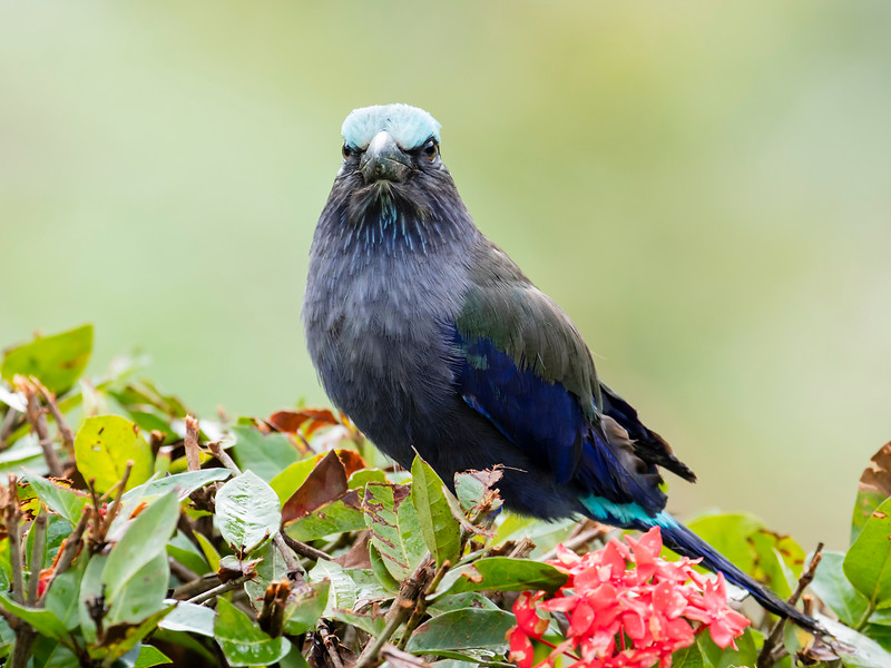 Sulawesi Roller
