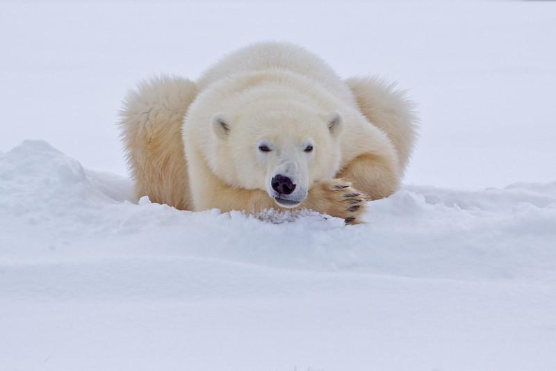 polar bear  5950.jpg
