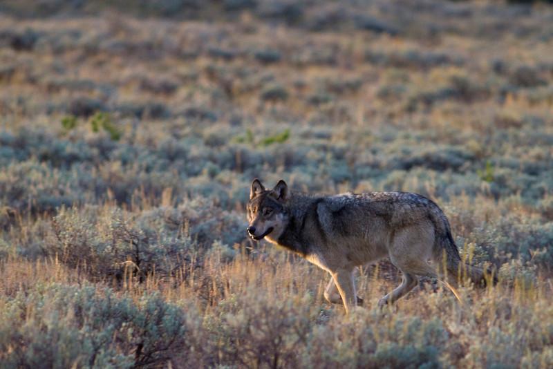 gray wolf004.jpg
