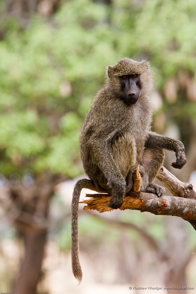 Tail of a baboon
