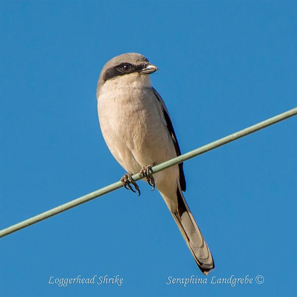 _DSC8831Loggerhead Shrike.jpg