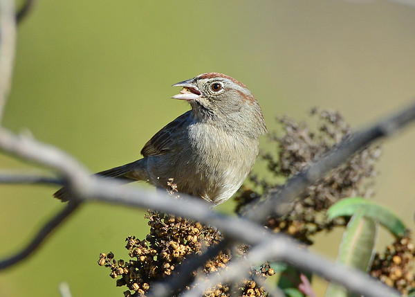 Sparrow, Rufous-crowned