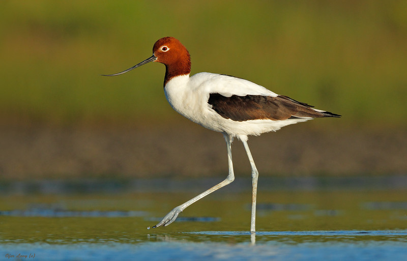 Red-necked Avocet portrait 2 MASTER.jpg
