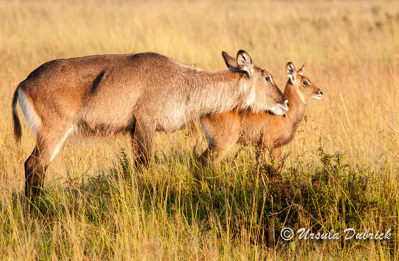Waterbuck - Female lovingly grooming her baby