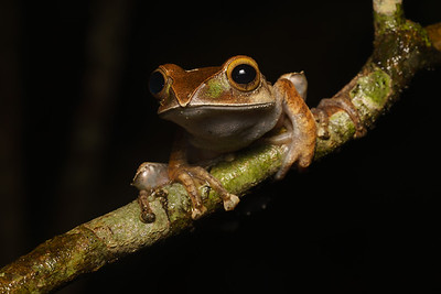 Madagascar Bright Eyed Frog