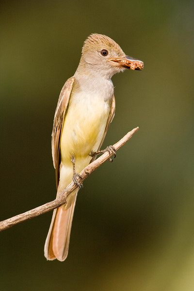 Great_crested_flycatcher_with_food.jpg
