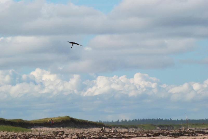 Balbuzard pêcheur avec proie, parc national de Kouchibouguac