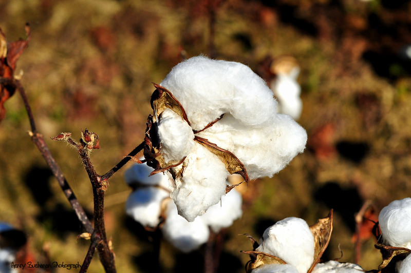 Cotton Pickin' Time