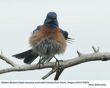 Western Bluebird M65970.jpg