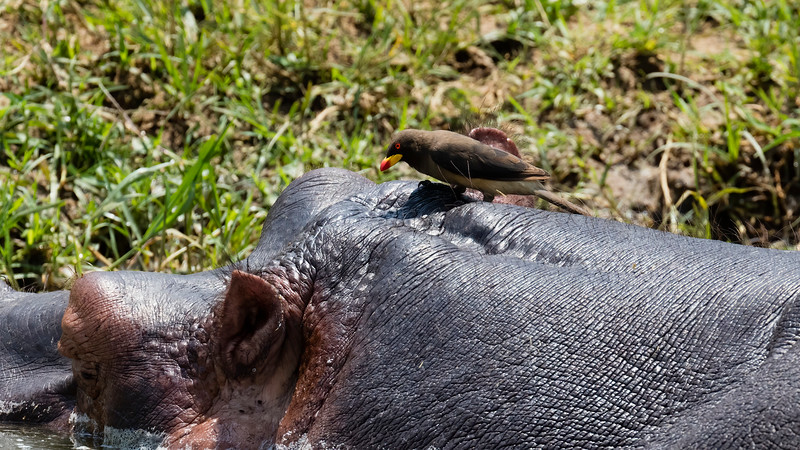 Yellow-billed Oxpecker on Hippopotamus