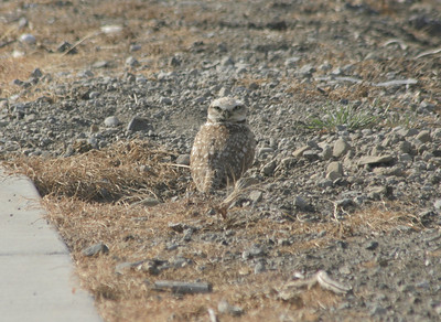Burrowing owl, birds at Don Edwards Park, April, 2007