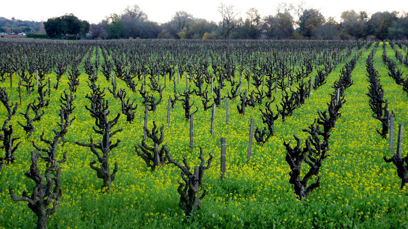 Mustard Flowers in the Vines