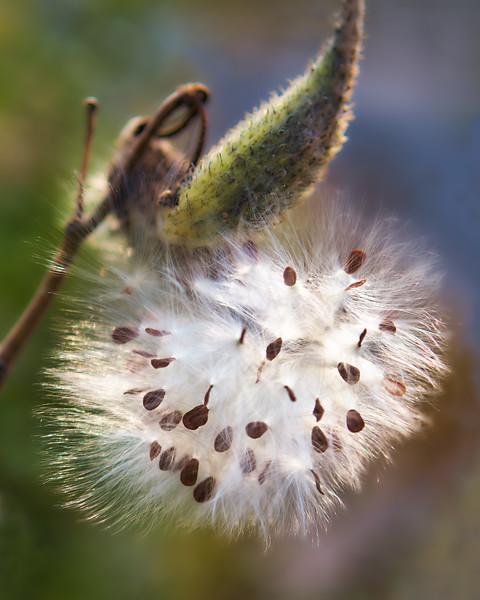 Milkweed in September