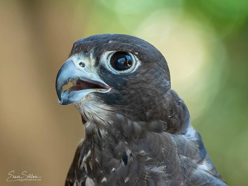 Audubon 8-121-2918a-.jpg