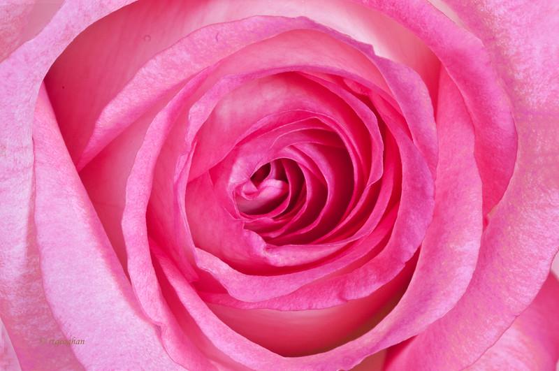 Mar 7_Rose Closeup_4024.jpg
