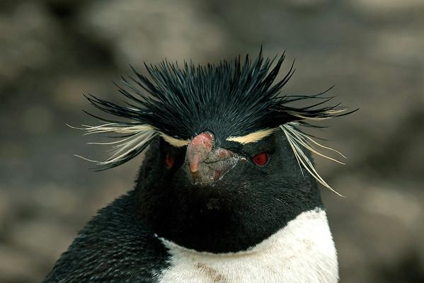Bird Photos: Penguins and Auks