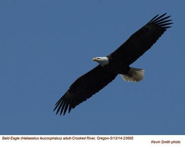 Bald Eagle A23695.jpg