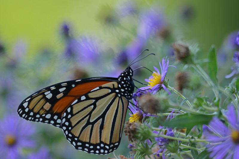 Monarch in the Asters
