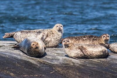 True Seals - Ægte Sæler