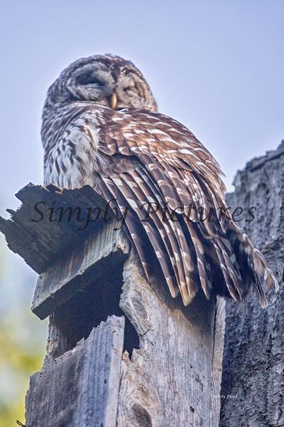 Owl  (44)