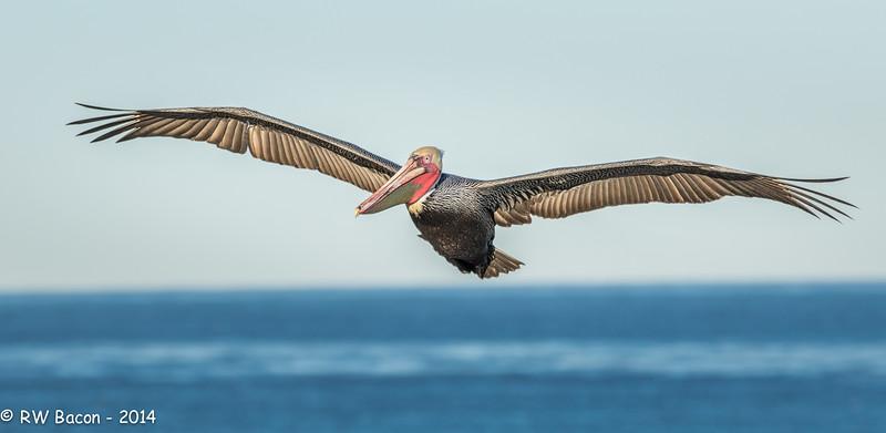 La Jolla Pelican Over Pacific.jpg