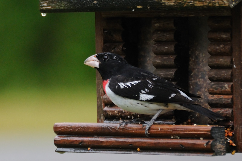 And looky here--a rose-breasted grosbeak.  I've never seen one of them before.  Cool.