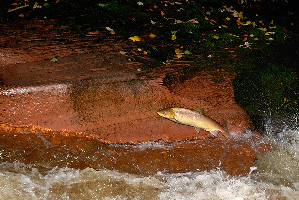 A hen salmon makes her way up the river Gelt, a tributary of the Eden.