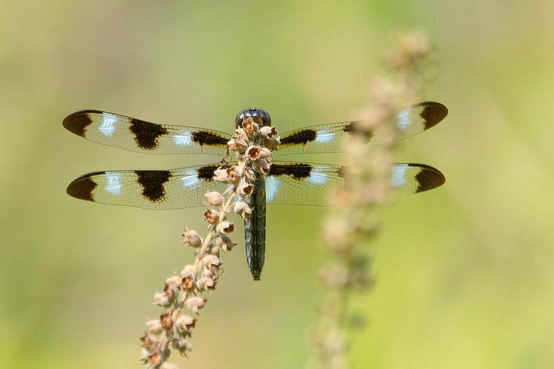12-Spotted Skimmer (m) MDX0318