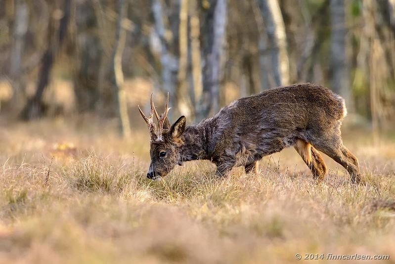 Rådyr - Capreolus capreolus - Roe Deer