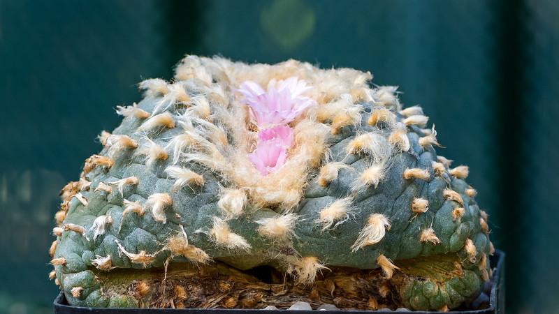 Lophophora wiliamsii decipiens