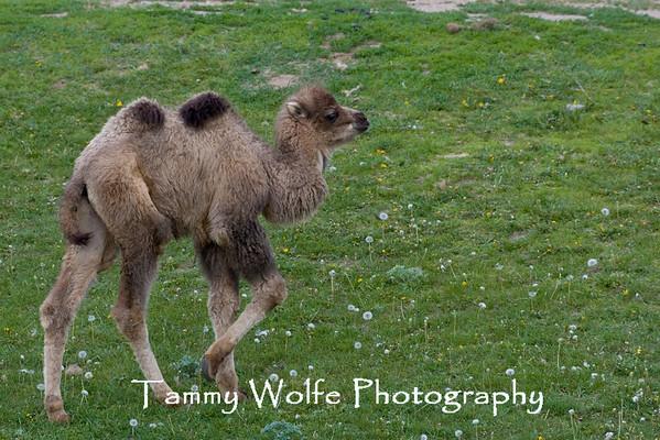 Camel, Bactrian