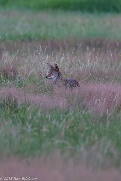 2018-Coyote