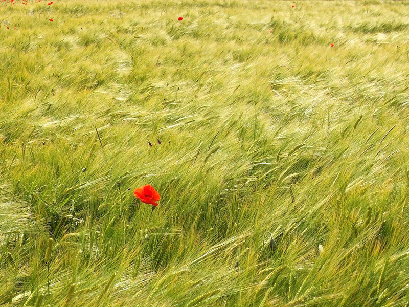 Poppies in the field near Gamlingay wood.