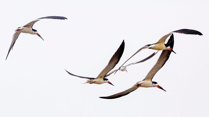 ... four Black Skimmers think about coming back.